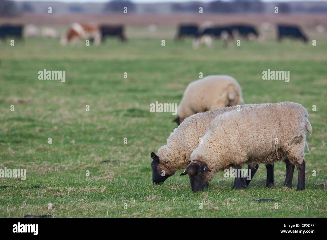 Ovejas (Ovis aries). Suffolk cruz, capa de hierba corta de pastoreo en los pastizales. Pasto corto de esta longitud es atractiva para las ocas salvajes. Foto de stock