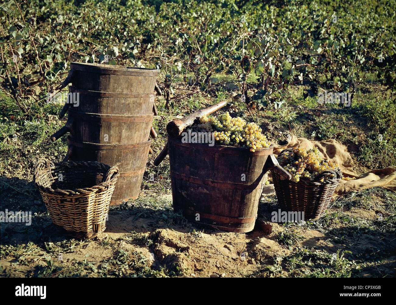 España - Catalunya - Artes. Vedemmia: canastas con uvas Imagen De Stock