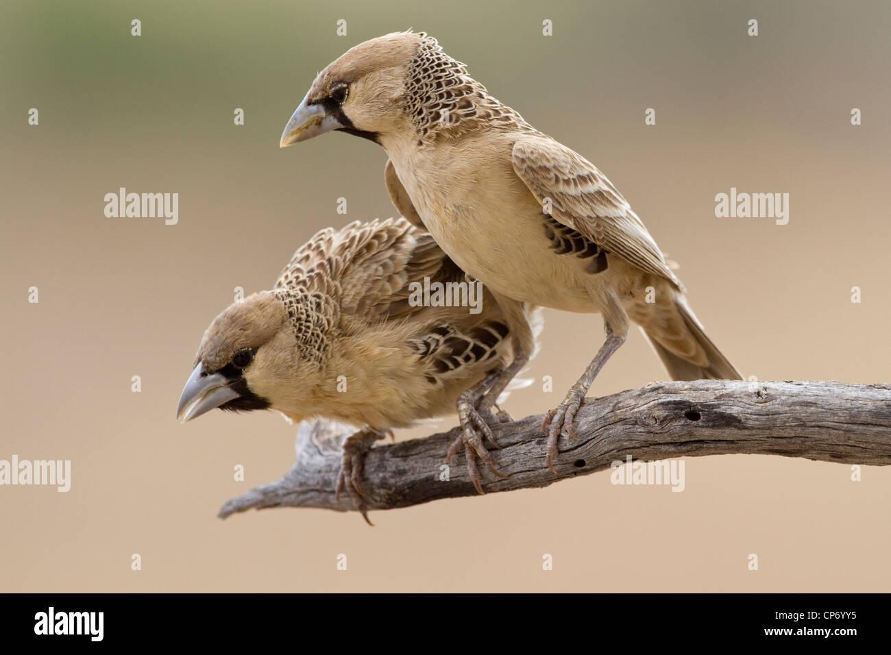 Dos sociable weaver pájaros en una rama uno mirando hacia abajo Imagen De Stock
