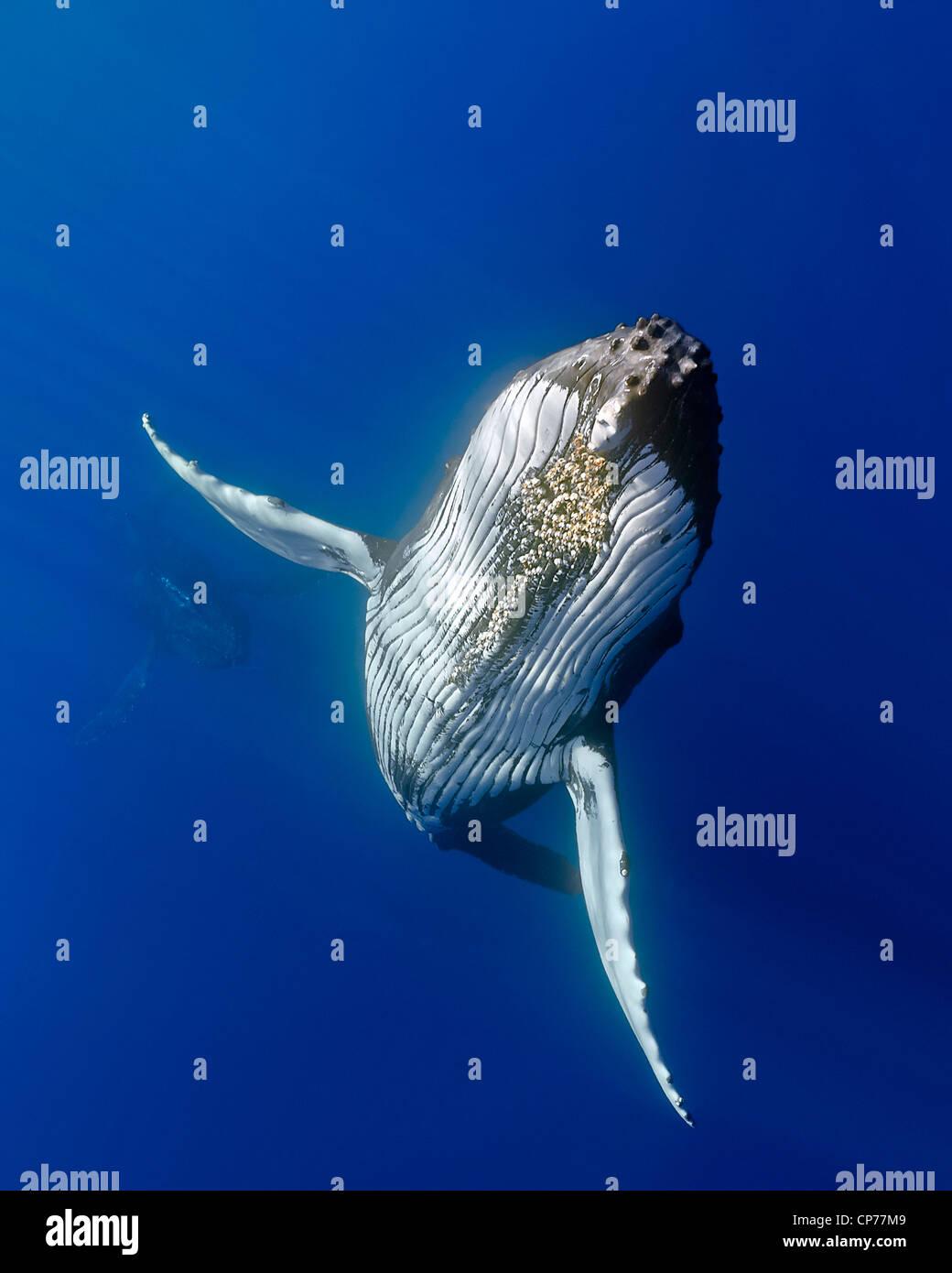 La ballena jorobada (Megaptera novaeangliae) Foto de stock