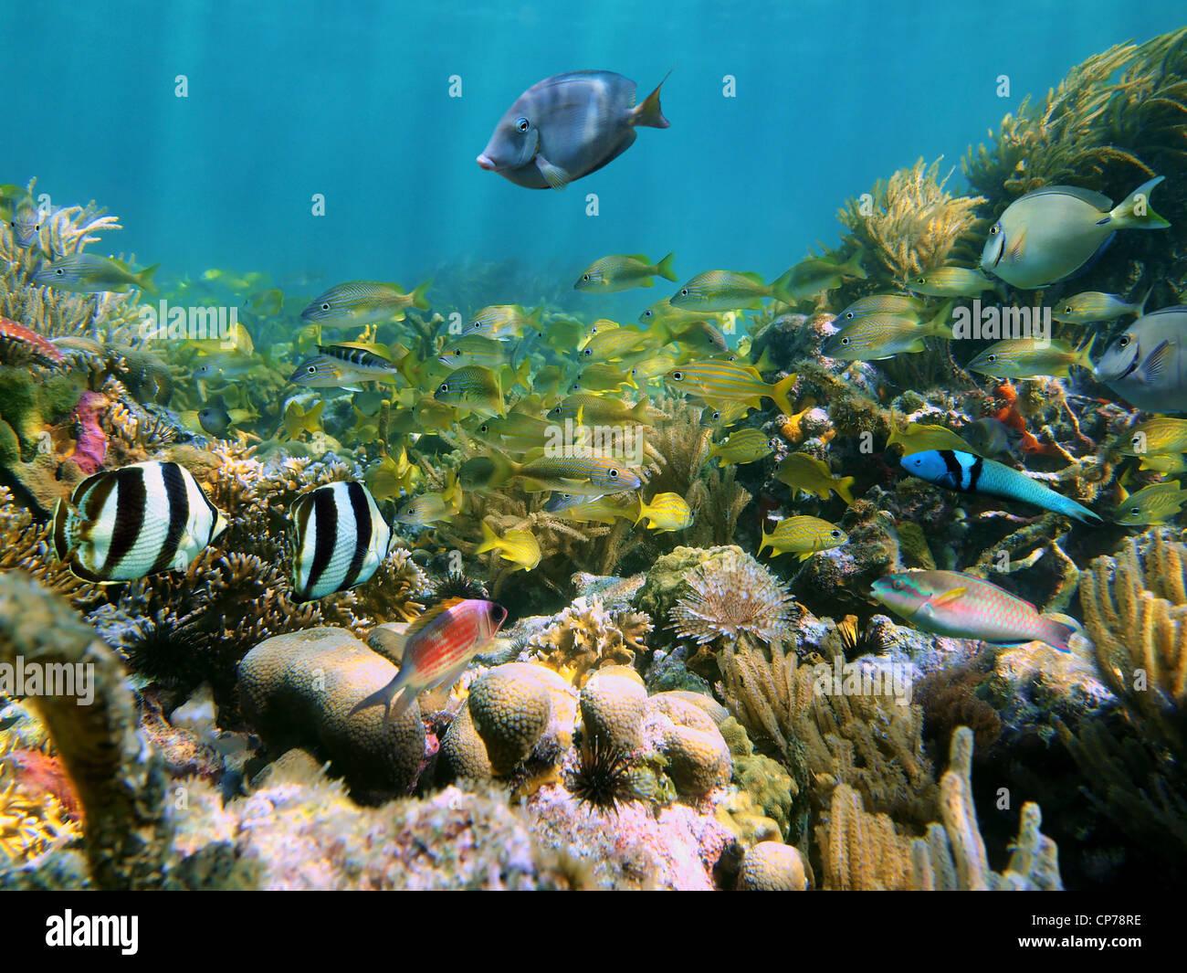 Arrecifes de coral con la escuela de coloridos peces tropicales bajo el agua, en el mar Caribe Foto de stock
