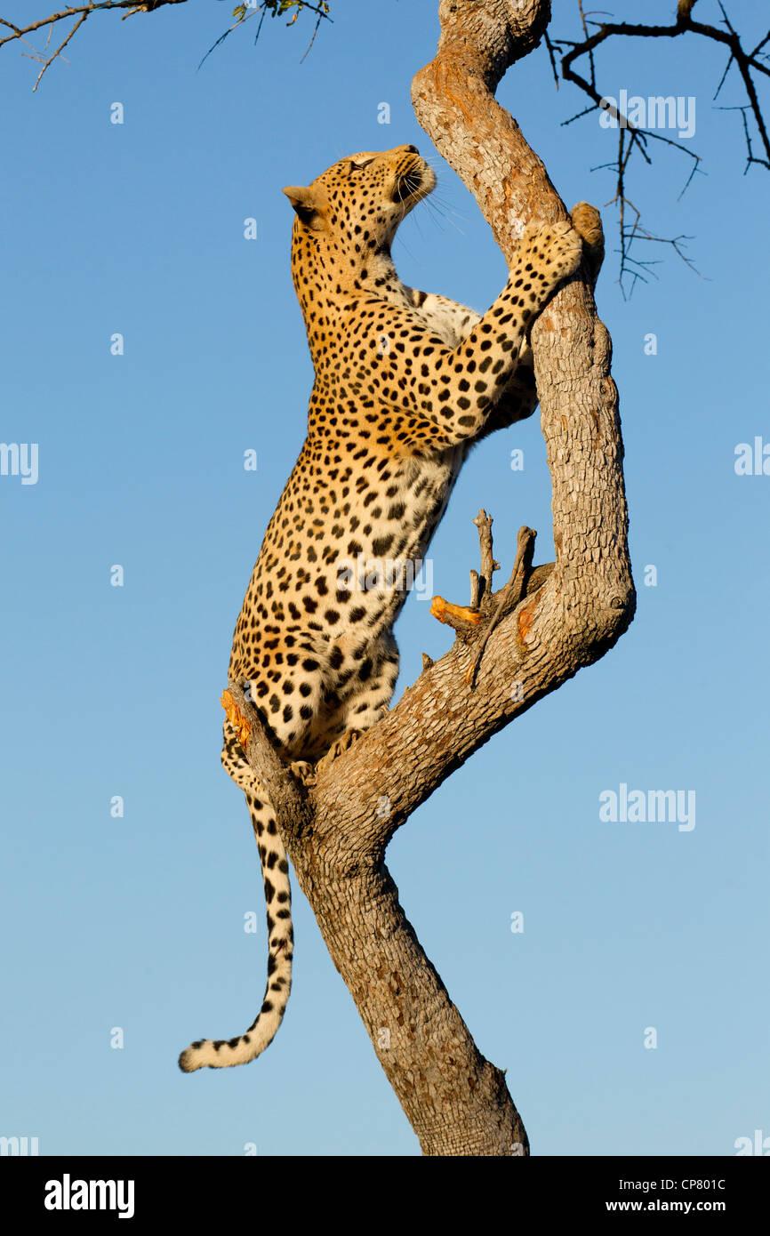 Macho de leopardo (Panthera pardus) subir a un árbol en Sudáfrica Imagen De Stock
