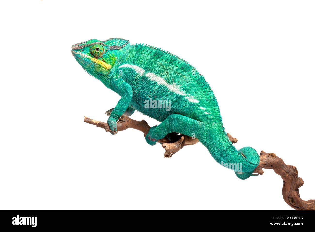 Camaleón Pantera, Furcifer pardalis Ambilobe, forma, macho Imagen De Stock