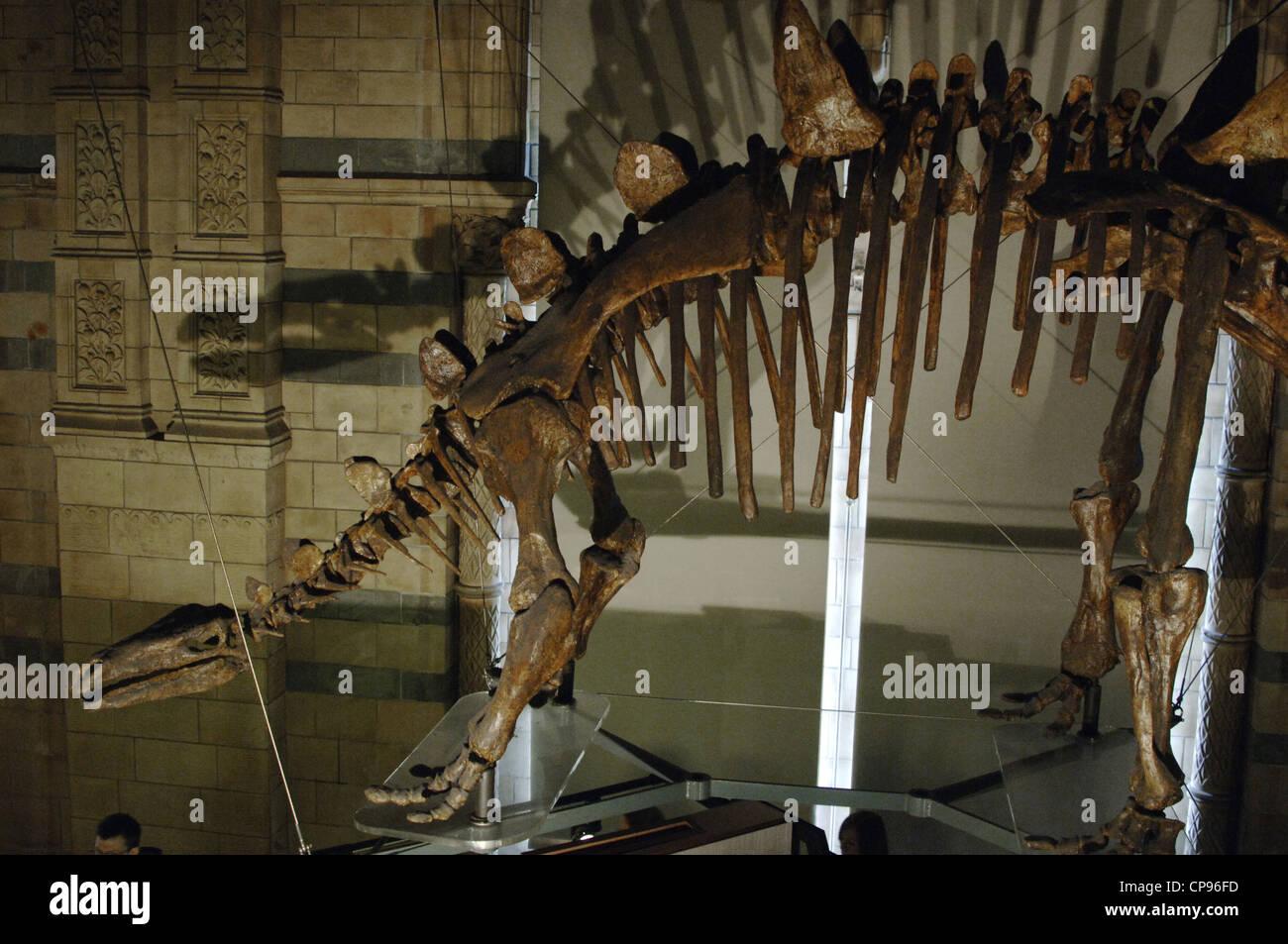 Tuojiangosaurus multispinus esqueleto. Jurásico. Oxfordiano Kimeridgiano escenario. Imagen De Stock