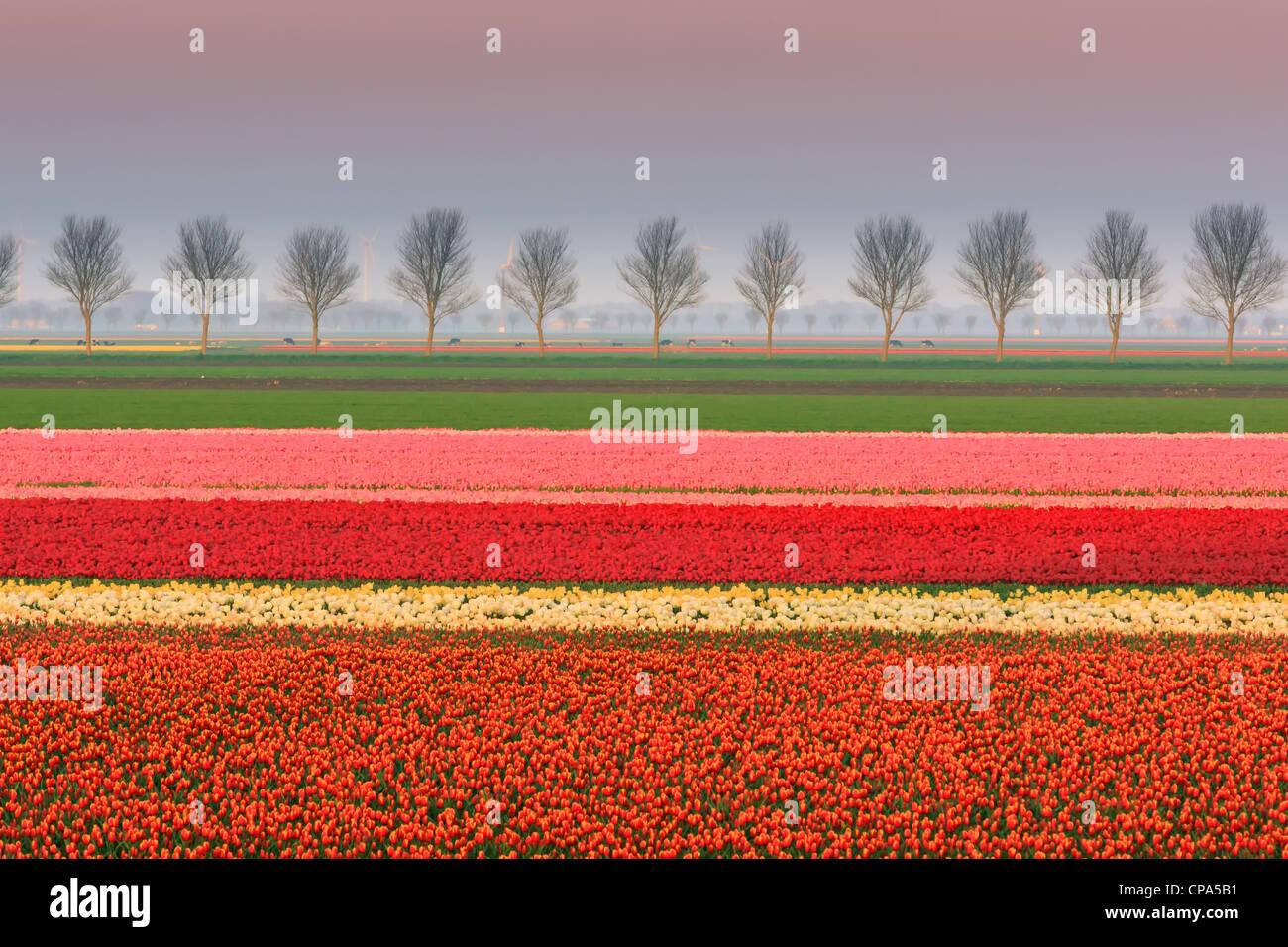 Bombilla holandesa y campos de flores durante la primavera en los Países Bajos Imagen De Stock