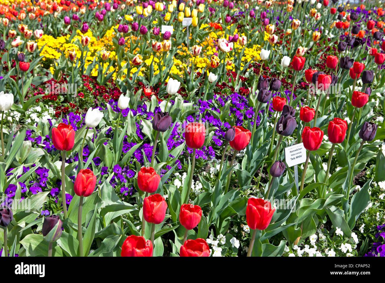 Los tulipanes florecen en primavera en el jardín de la isla de Mainau, el lago de Constanza, Baden-Wurttemberg, Foto de stock
