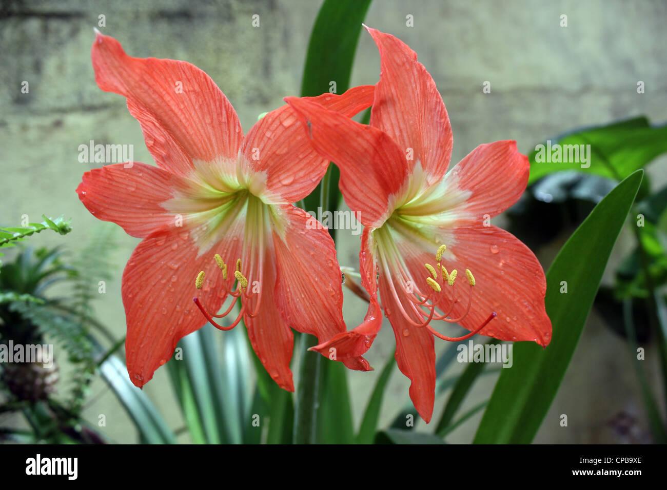 Lilly flor azucenas Foto de stock