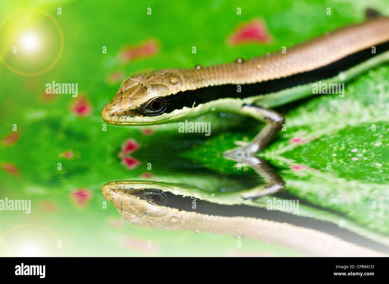 Ocultar Skink en el jardín o en el verde de la naturaleza Imagen De Stock