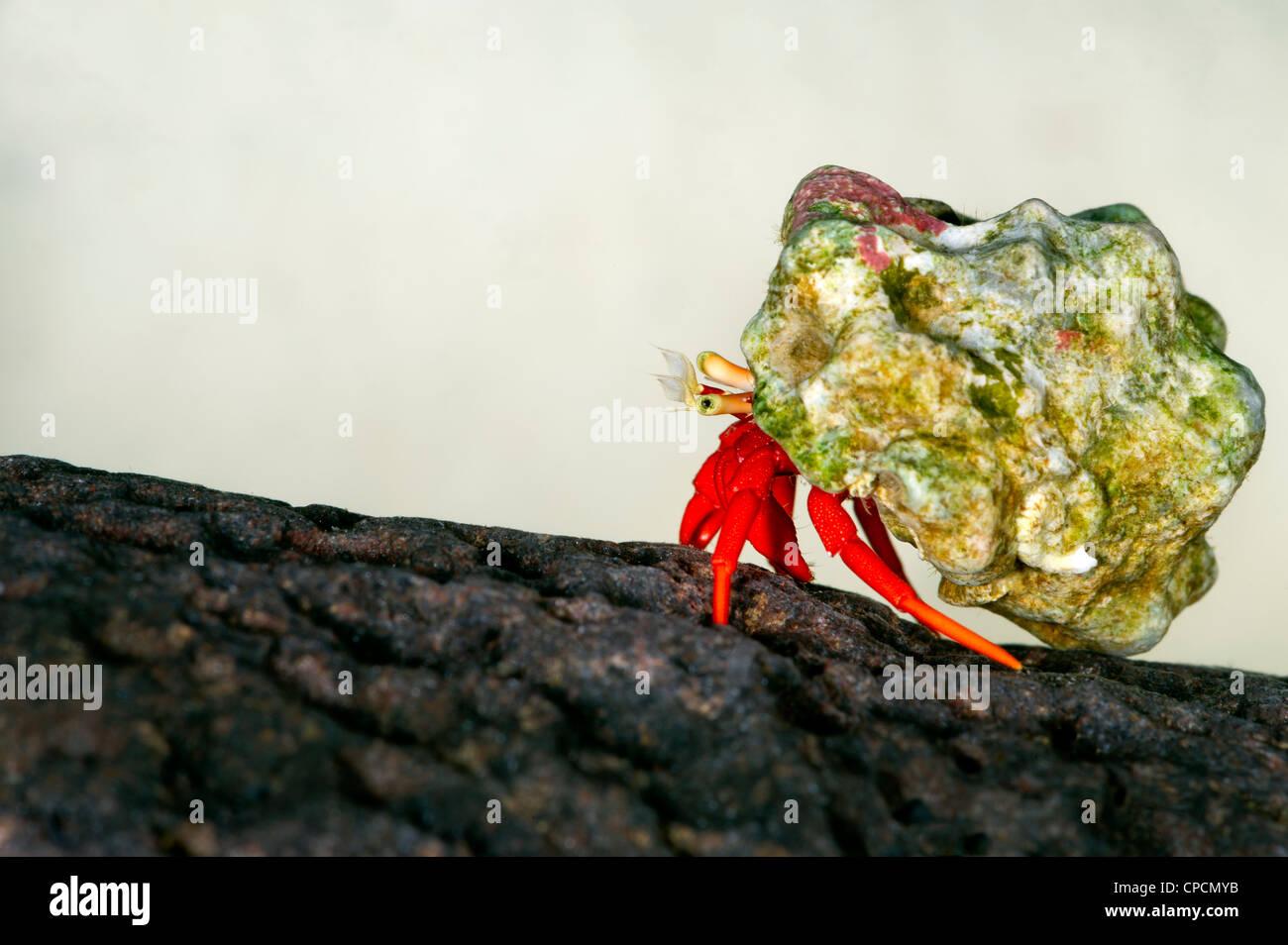 Pequeño pequeño cangrejo ermitaño CALCINUS studio retrato einsiedlerkrebs krebs fondo blanco rojo azul cangrejos pequeños de 1 cm a 2 cm makro m Foto de stock