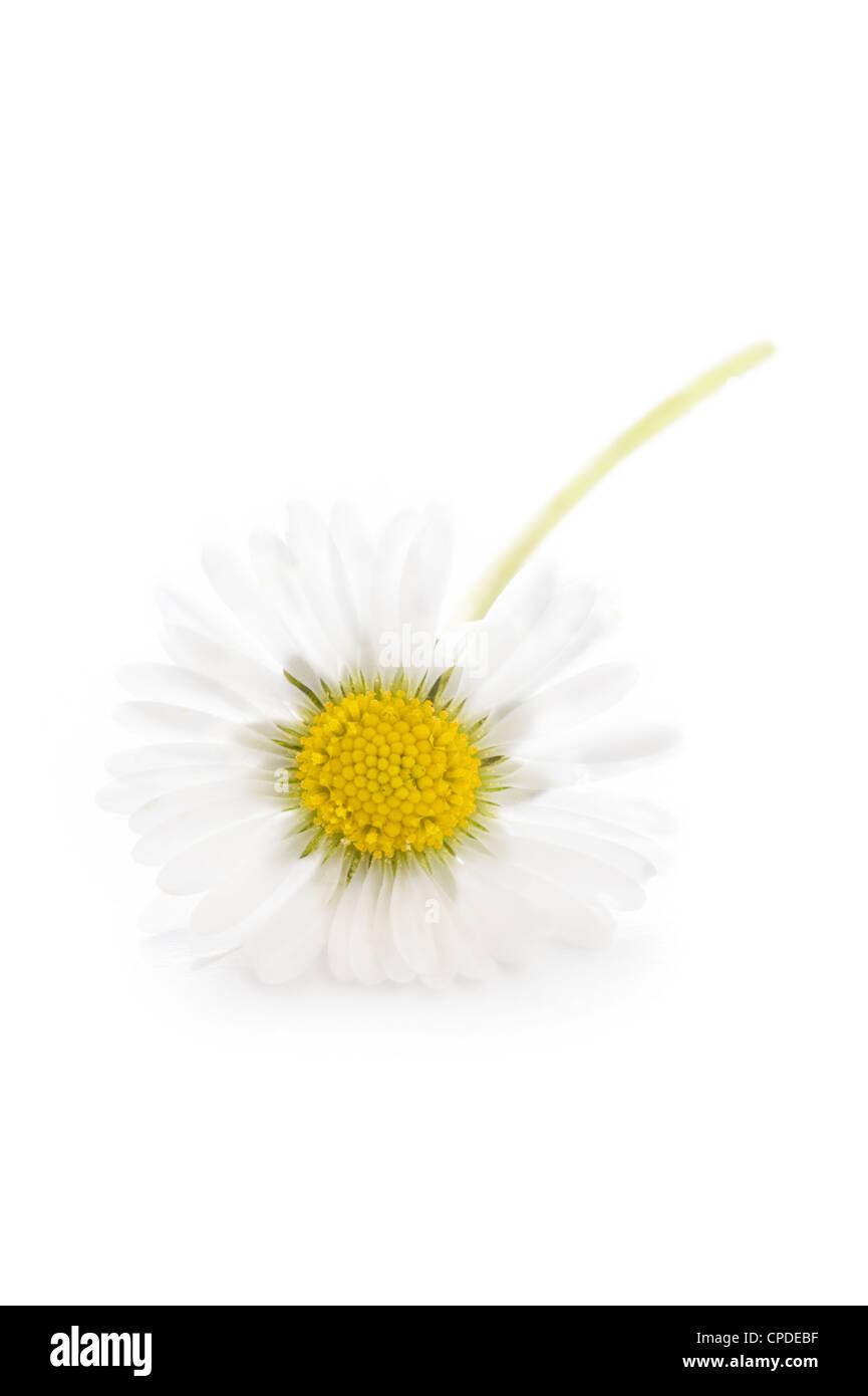 Un único común inglés silvestres daisy aislado sobre un fondo blanco. Foto de stock