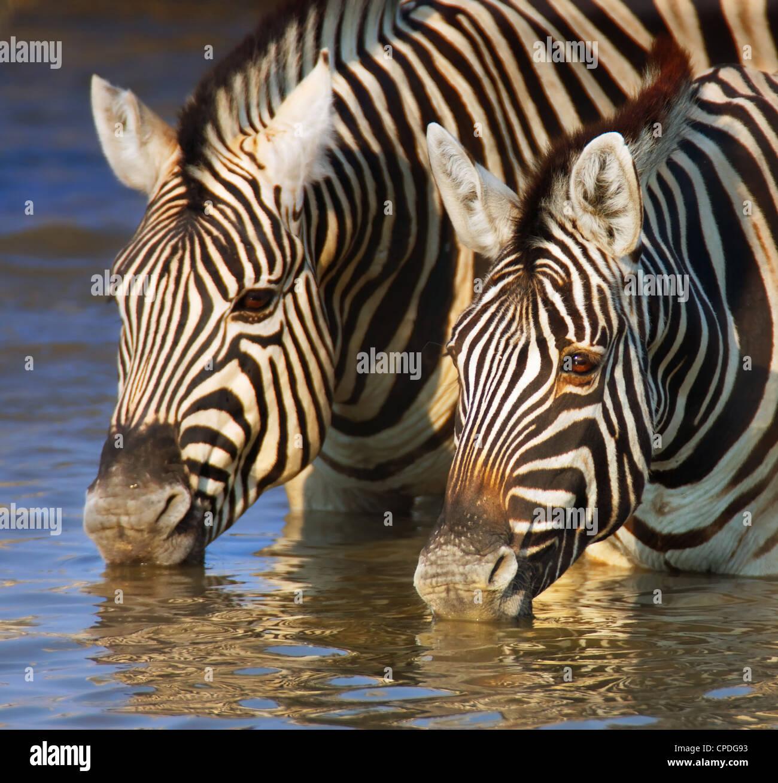 Close-up de dos cebras agua potable; Etosha Imagen De Stock