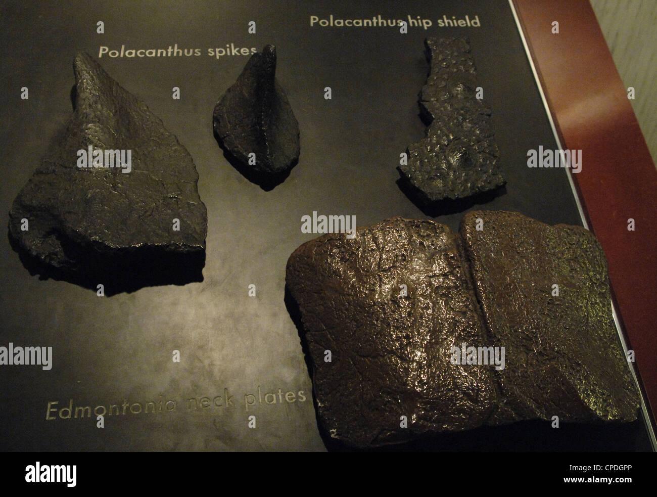 Restos de Polacanthus Cretácico tardío Edmontonia y dinosaurios. Imagen De Stock