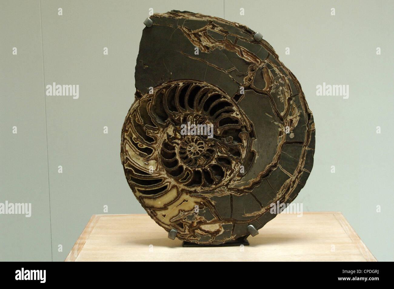 Los amonitas. Asteroceras stellare. Inicial del período jurásico. Museo de Historia Natural. Londres. Imagen De Stock