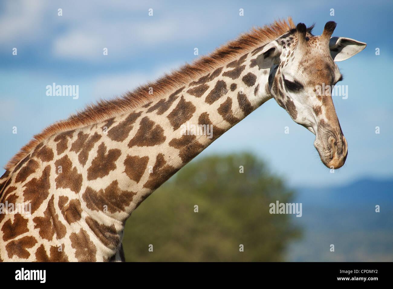 Jirafa Giraffa camelopardalis en Mikumi reserva de caza . El sur de Tanzania. África Imagen De Stock
