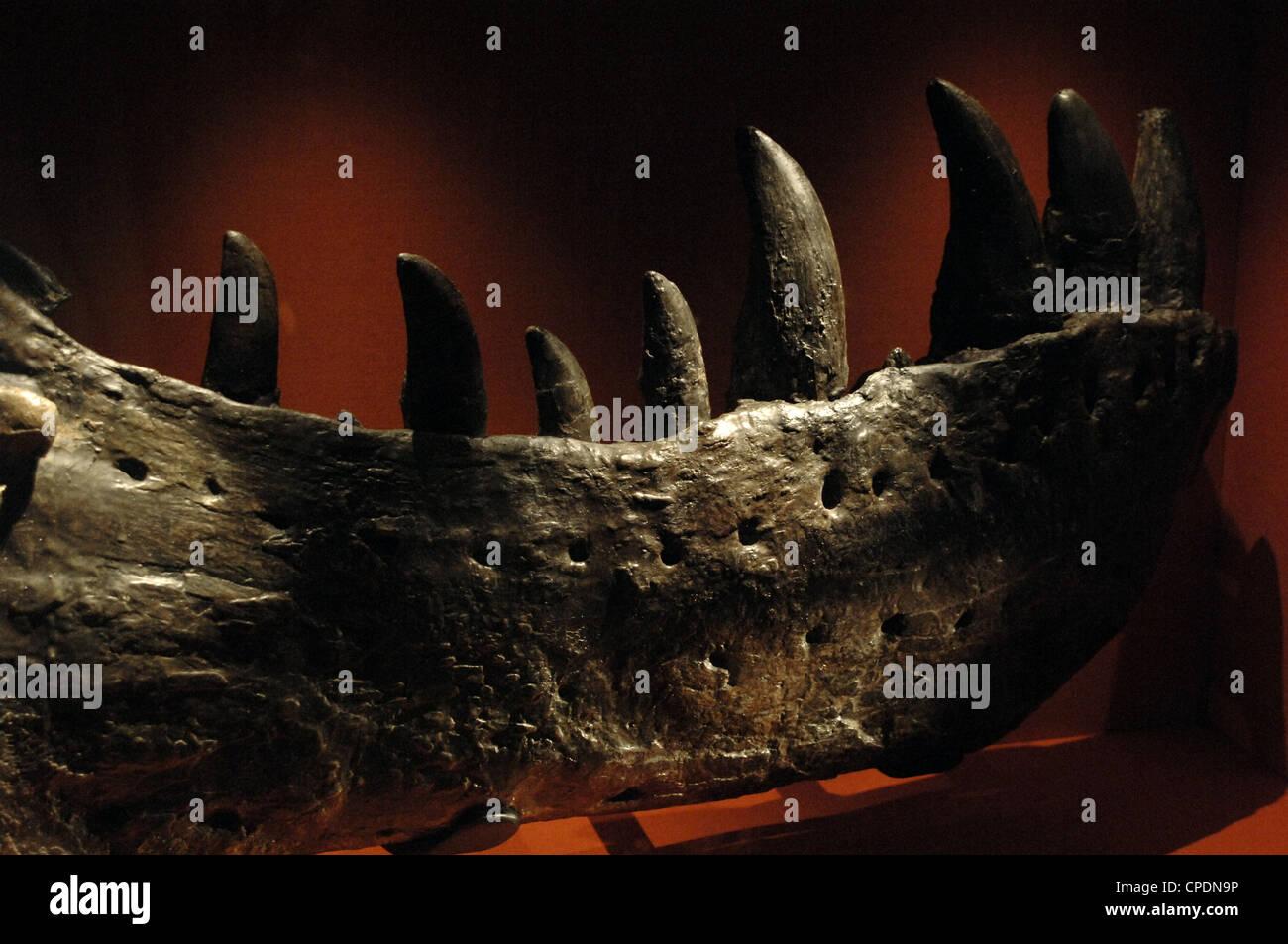 Mordaza del primer Tiranosaurio Rex . Cretácico Superior. Maastrichtiano. Imagen De Stock