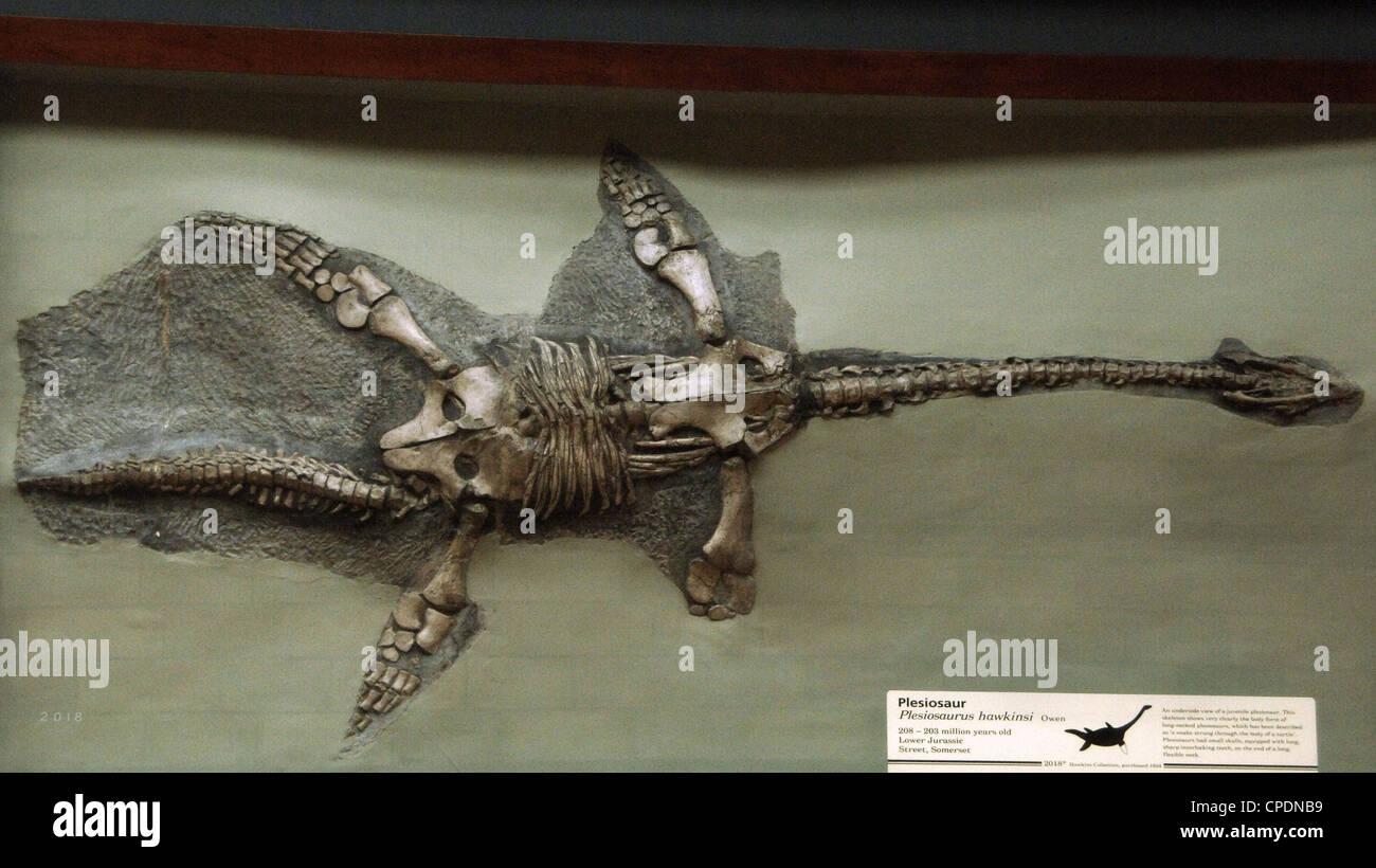 Fósil de plesiosaurio (Plesiosaurus hawkinsi). 208-203 millones de años. Del Jurásico Inferior. Calle, Imagen De Stock