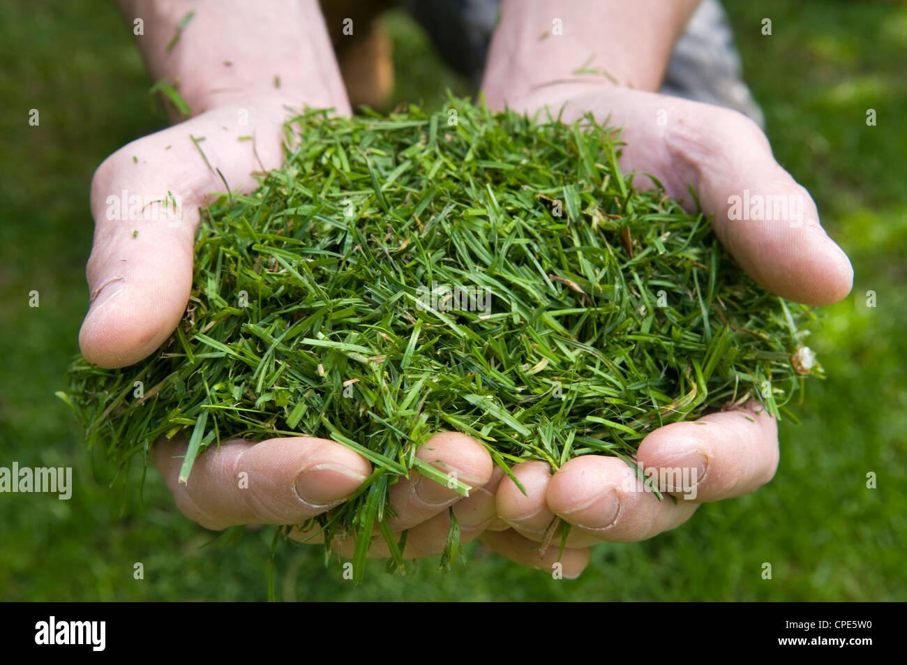 Cerca de caucásico mans manos sosteniendo recortes de hierba recién cortada Imagen De Stock
