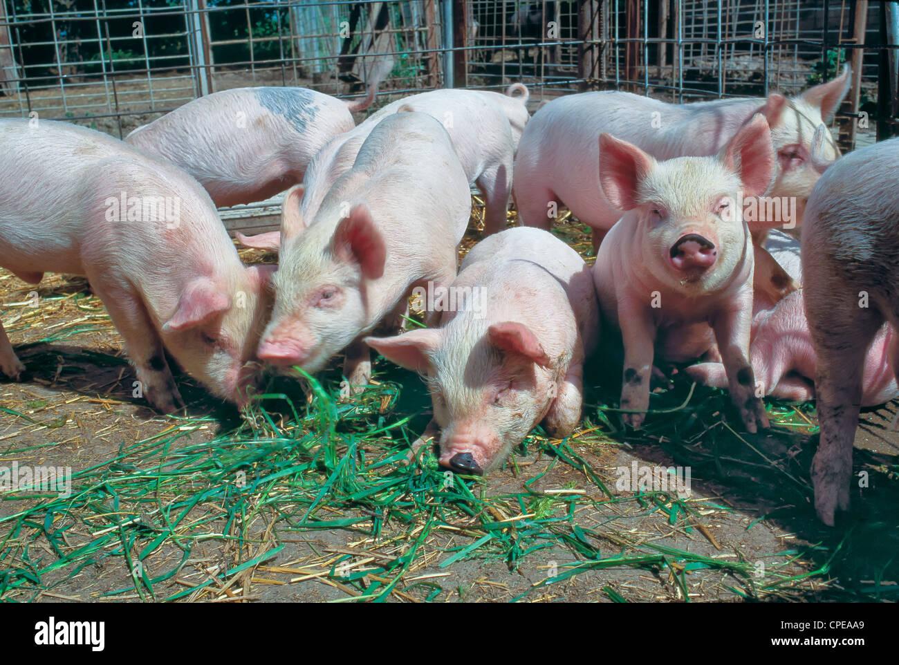 Los cerdos menores 'Yorkshire' alimentación en lápiz. Imagen De Stock