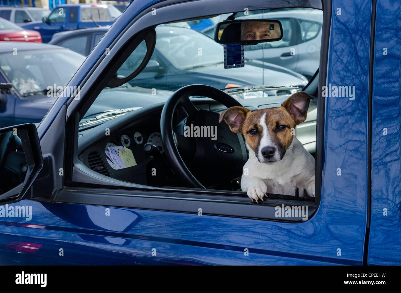 Jack Russell terrier en la ventanilla del asiento del conductor. Imagen De Stock