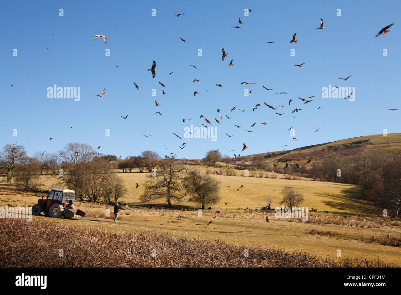 Cometas rojas (Milvus milvus) volando sobre la estación de carga en Gigrin granja como la alimentación se propaga. Powys, Gales. Foto de stock