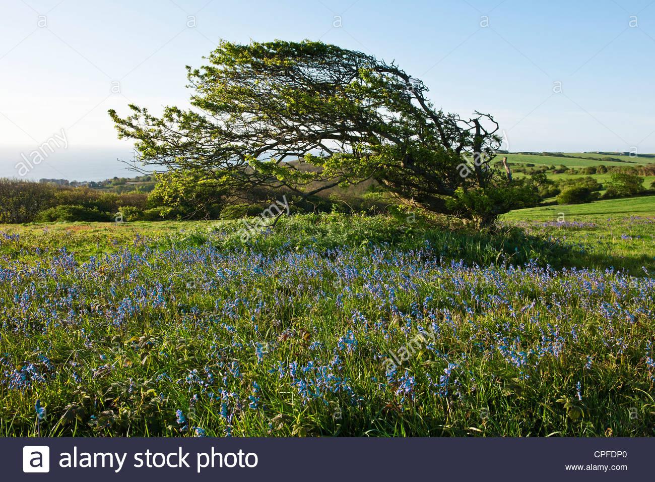 El viento barrió hawthron formado afectados árboles Warren Hill East Sussex primavera paisaje puede amanecer Imagen De Stock