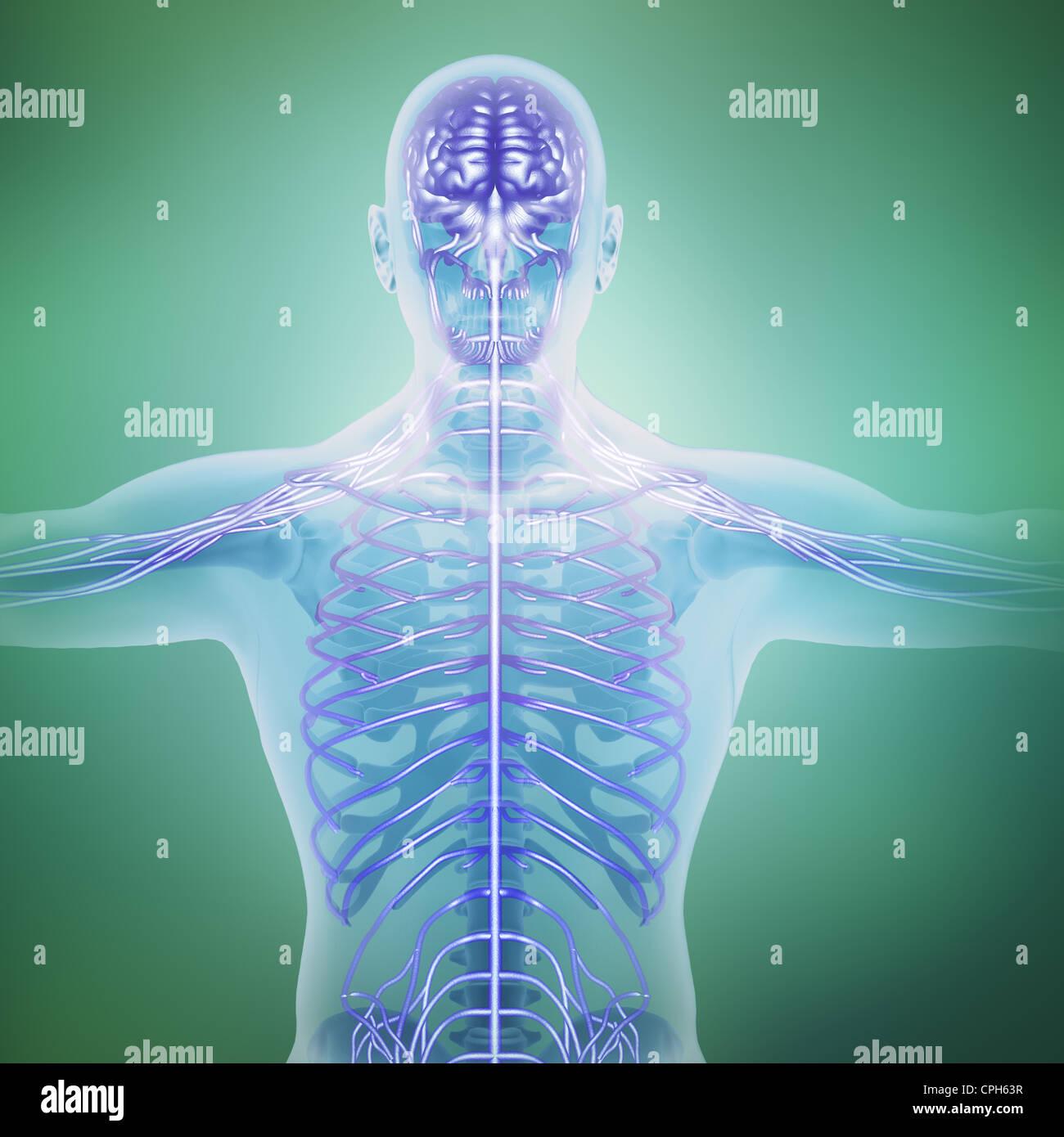 Ilustración de la anatomía humana - sistema nervioso central Foto de stock