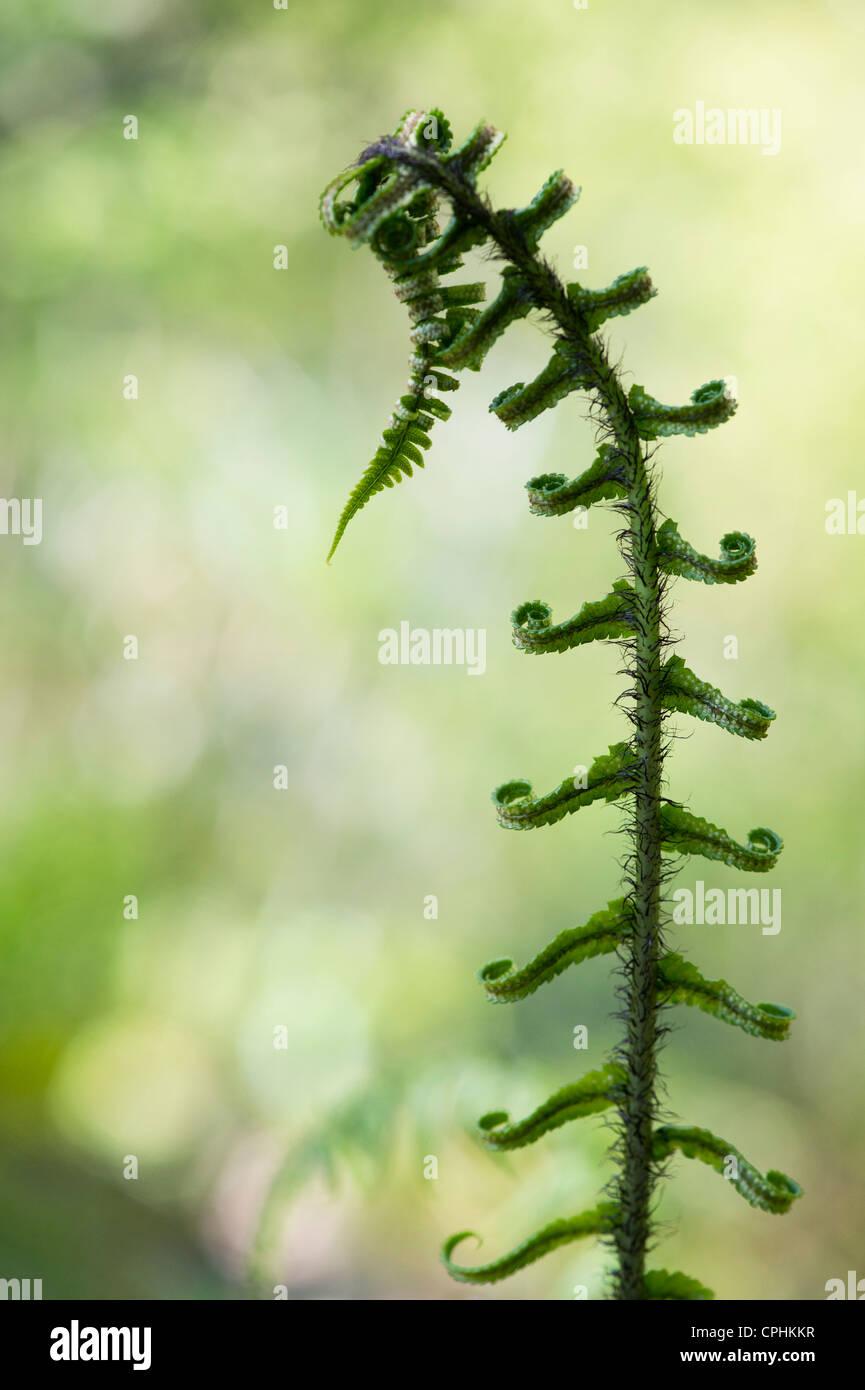 Dryopteris atrata. Shaggy el escudo Fern / Escudo Hardy Fern ondear en . UKspring Foto de stock