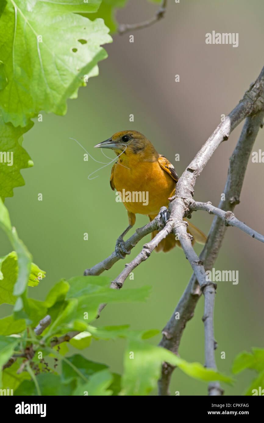 Baltimore oriole hembra donde se posan con material nido - Vertical Imagen De Stock