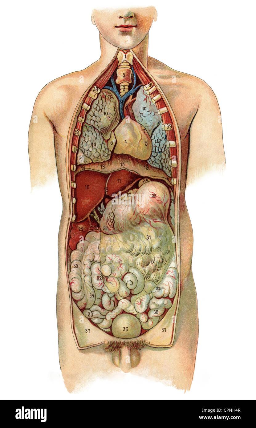 Medicina Interna, anatomía, órganos humanos, gráfico, litografía ...