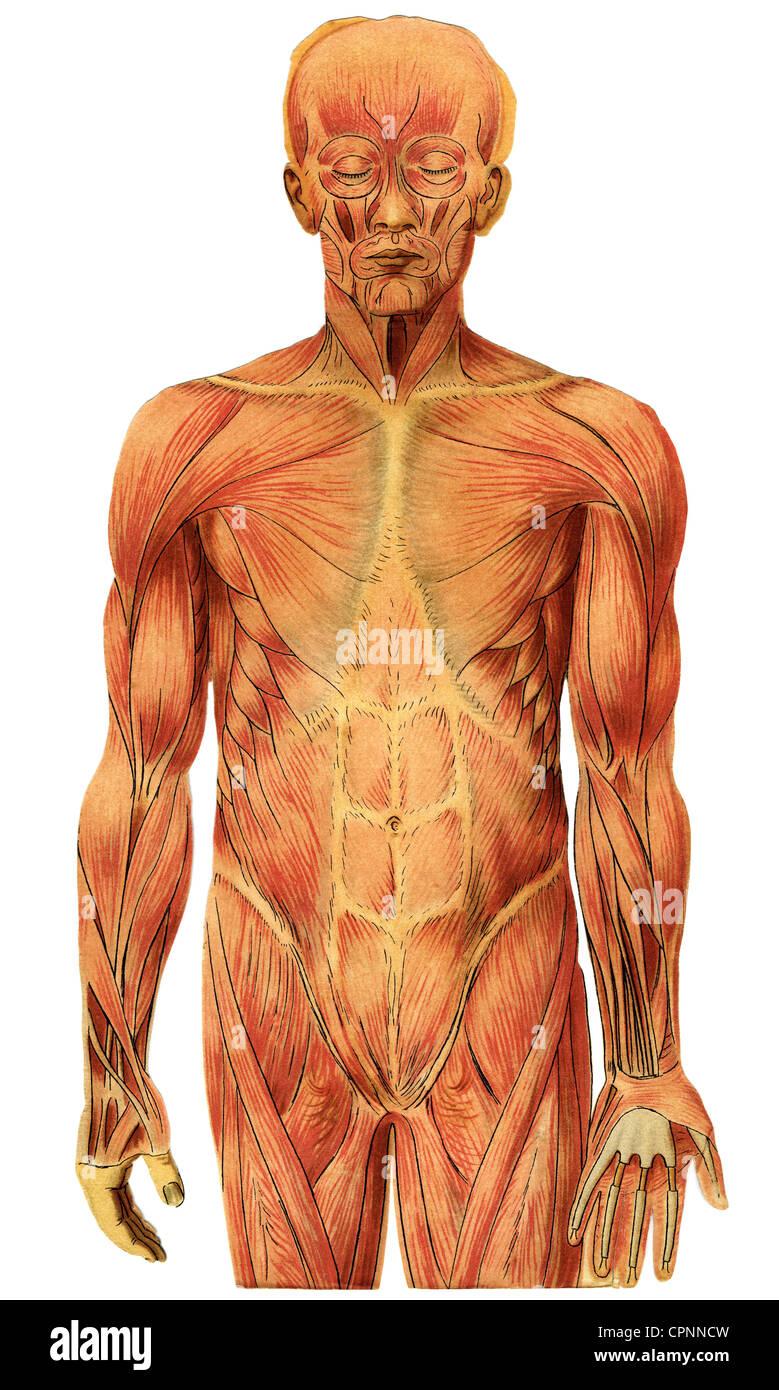 La medicina, la anatomía, los músculos de un hombre, gráfico ...