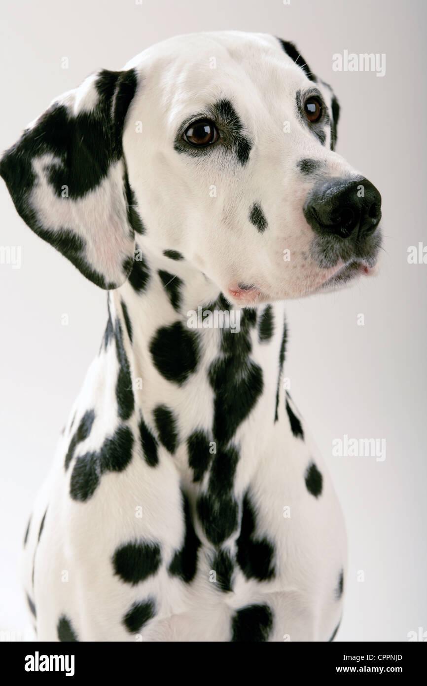 Perro dálmata contra un fondo blanco Foto & Imagen De Stock ...