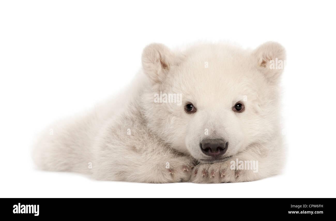 Osezno Polar, Ursus maritimus, 3 meses de edad, retrato contra el fondo blanco. Imagen De Stock