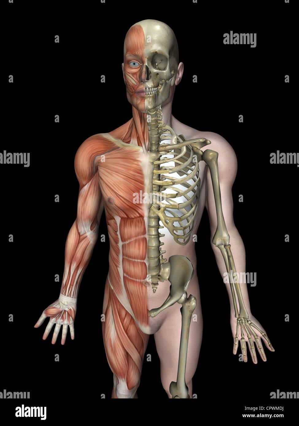 Ilustración anatómica del cuerpo humano mostrando el esqueleto y ...