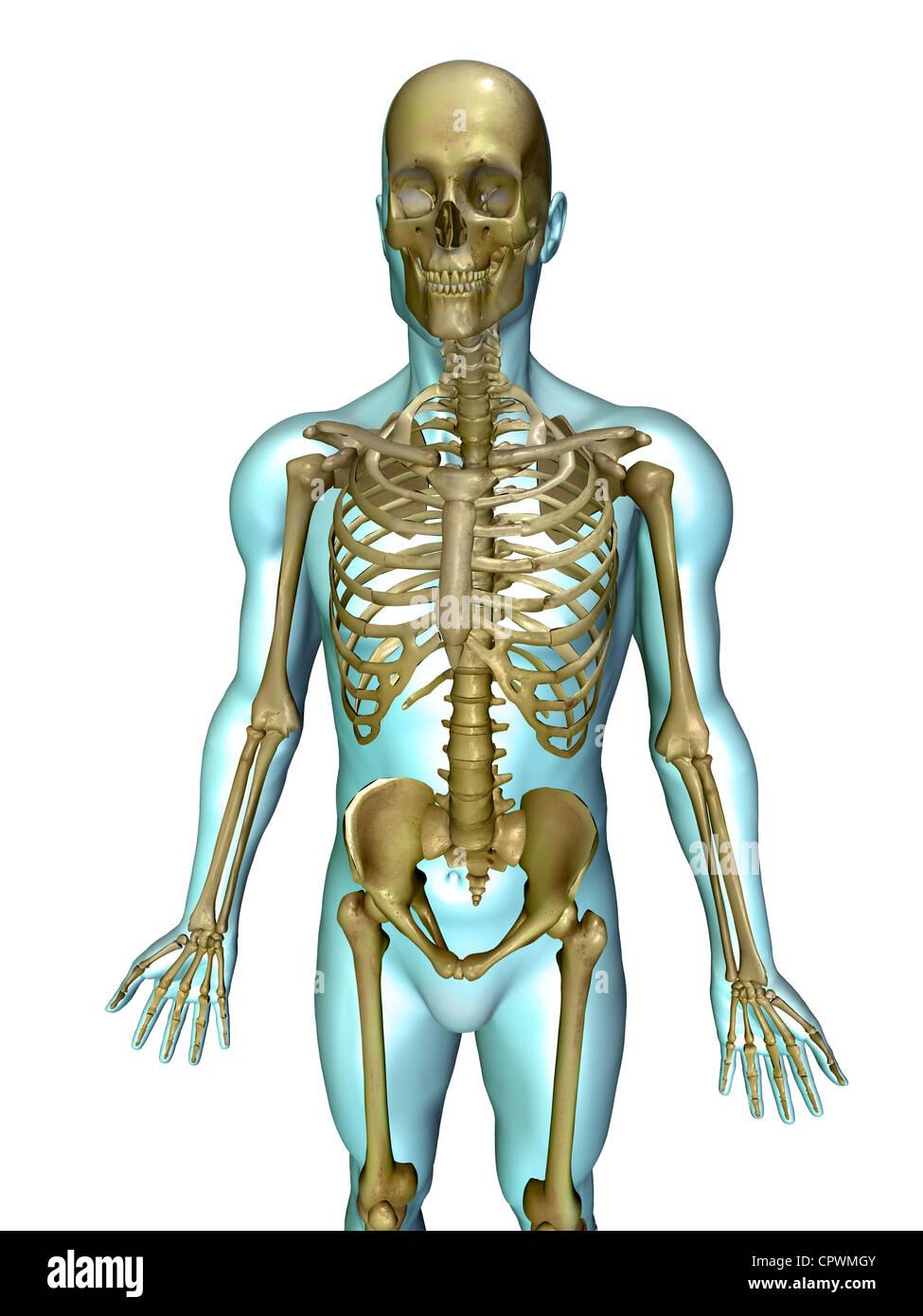 Ilustración anatómica del cuerpo humano mostrando el esqueleto ...