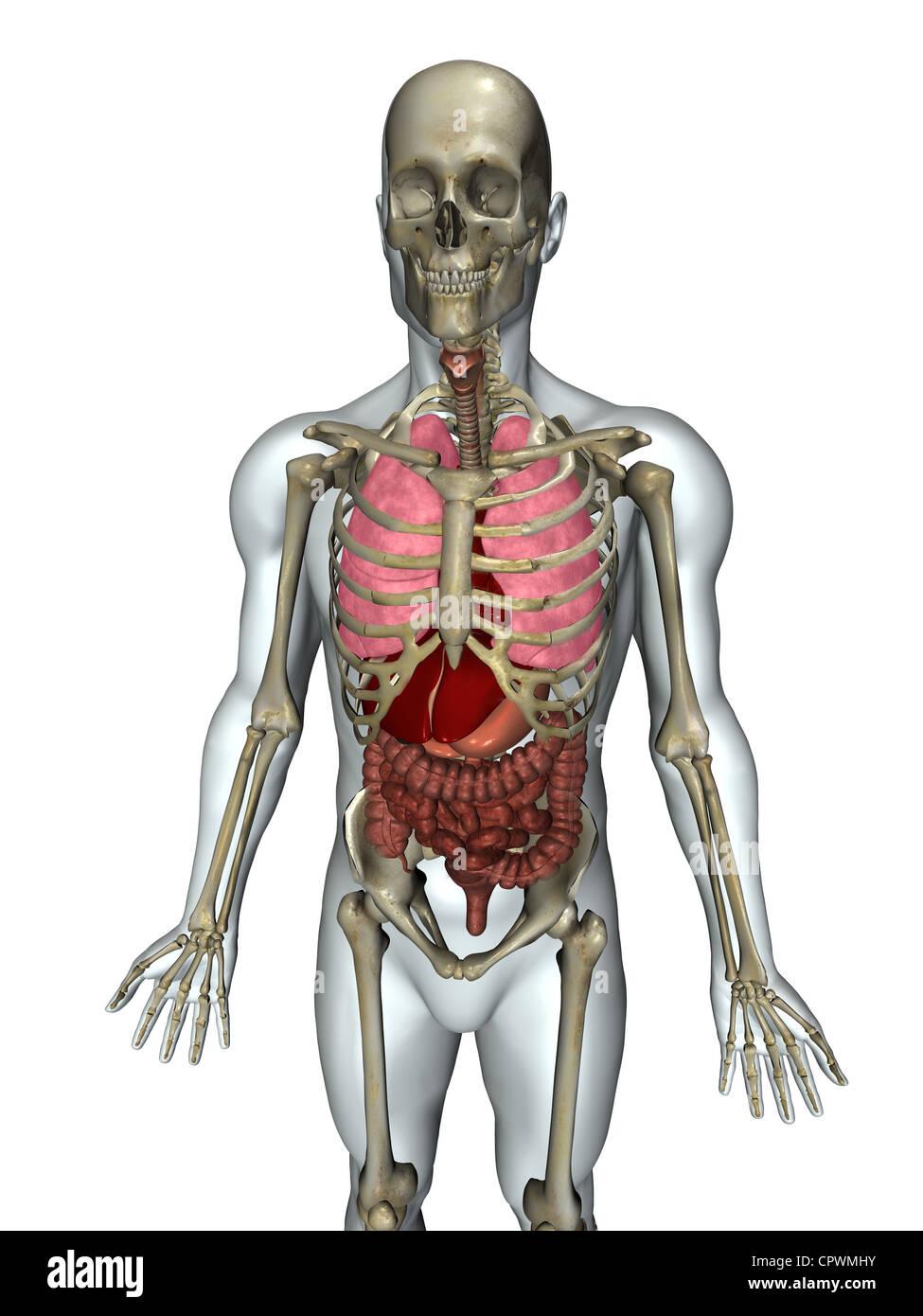 Ilustración anatómica del cuerpo humano que muestran los principales ...