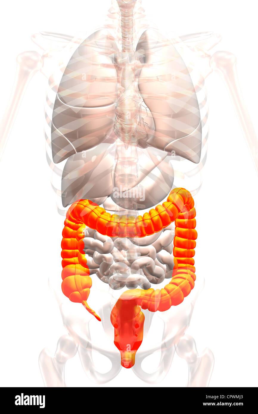 Ilustración que muestra anatómica del apéndice, ciego y colon Foto ...