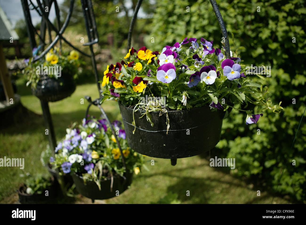 - Flores colgantes en una olla de hierro fundido en un jardín. Amarillo, blanco, violeta. Tres macetas colgantes Foto de stock