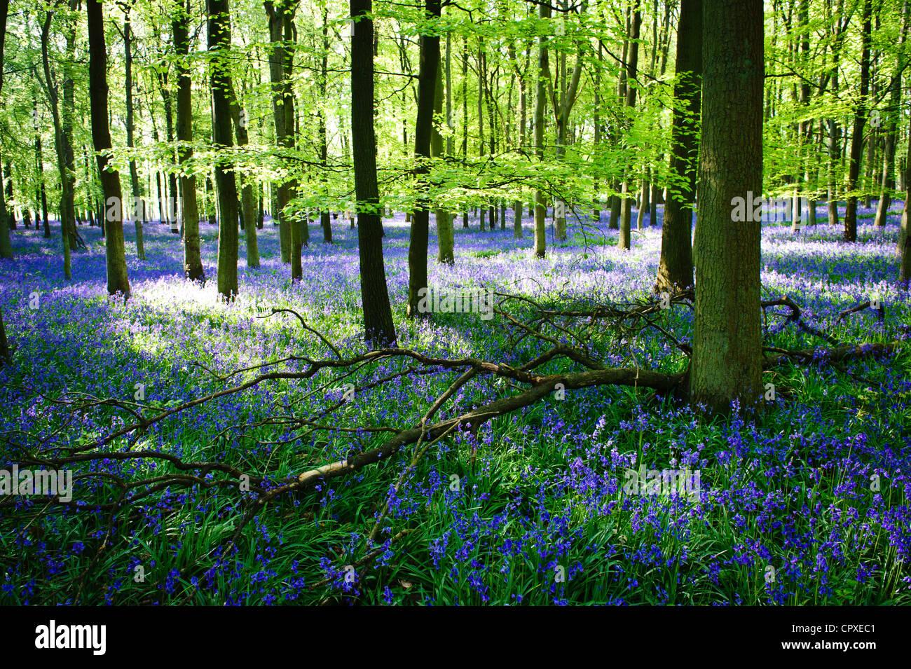 Las campánulas azules en plena floración cubriendo el suelo en una alfombra de color azul en una hermosa Imagen De Stock