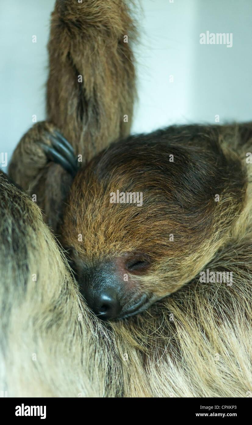 Hoffmann de dormir dos vetado Sloth Choloepus hoffmanni. Foto de stock