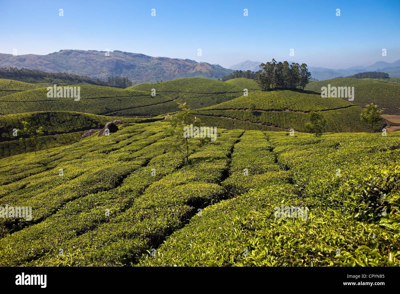 El estado de Kerala, India, Munnar, plantaciones de té Imagen De Stock