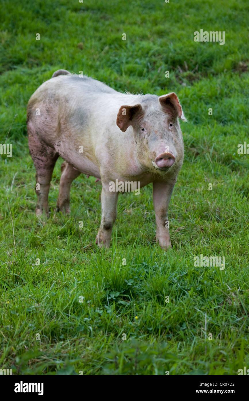 Cerdo doméstico (Sus domesticus / Sus scrofa domesticus) retrato en campo, Bélgica Foto de stock