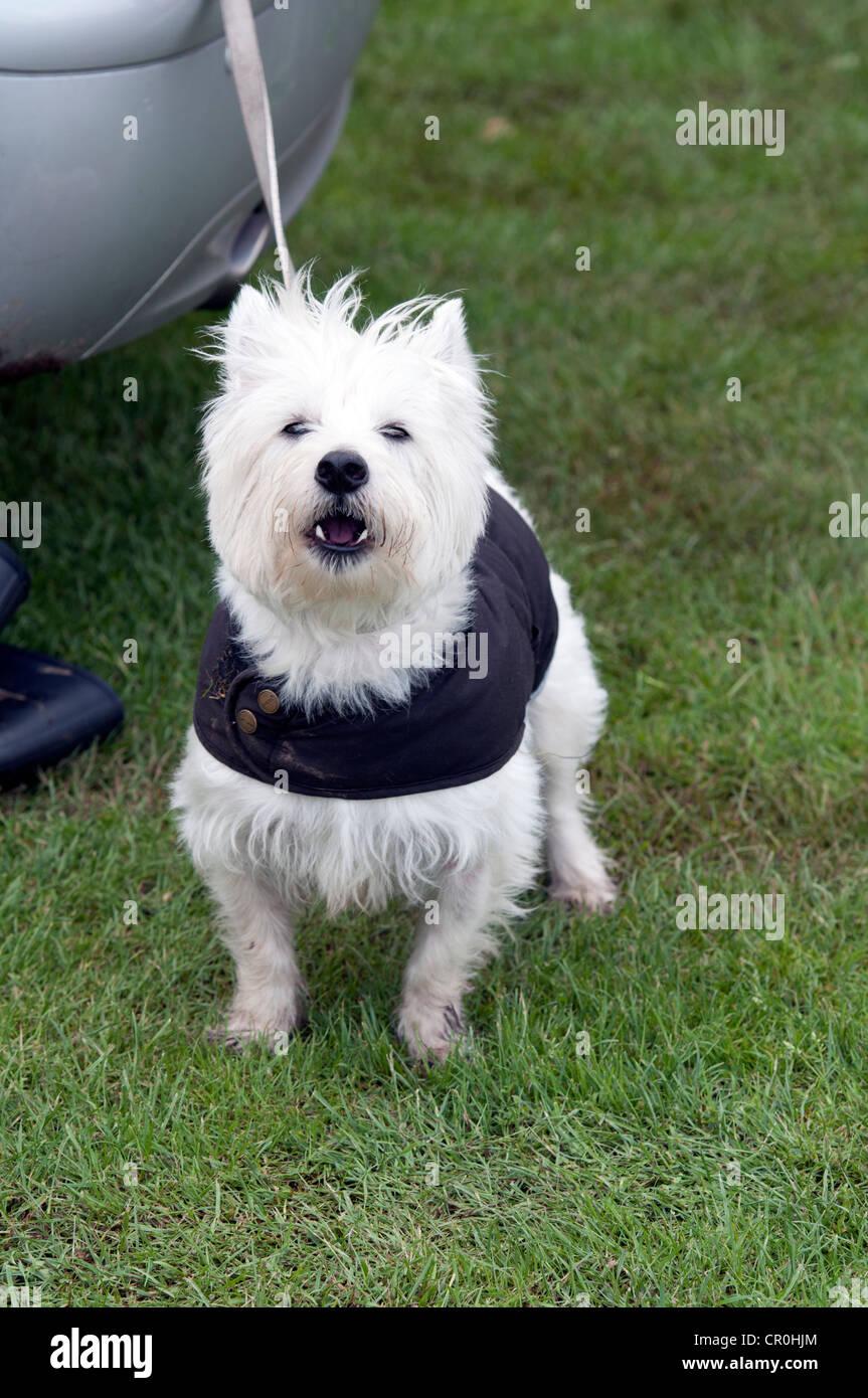 West Highland White Terrier o Westie Foto de stock
