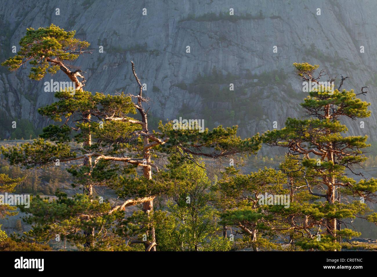 Los pinos al amanecer, en Måfjell en Nissedal fylke, Telemark, Noruega. Imagen De Stock