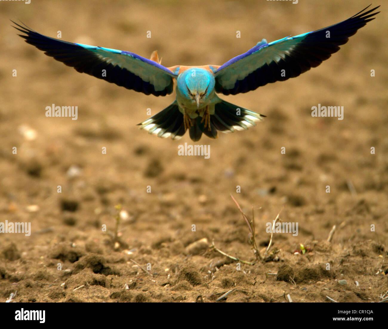Rodillo ( Coracias garrulus) Muy raras aves migratorias. Fue el ÚNICO EN EL REINO UNIDO EN 2012 Imagen De Stock