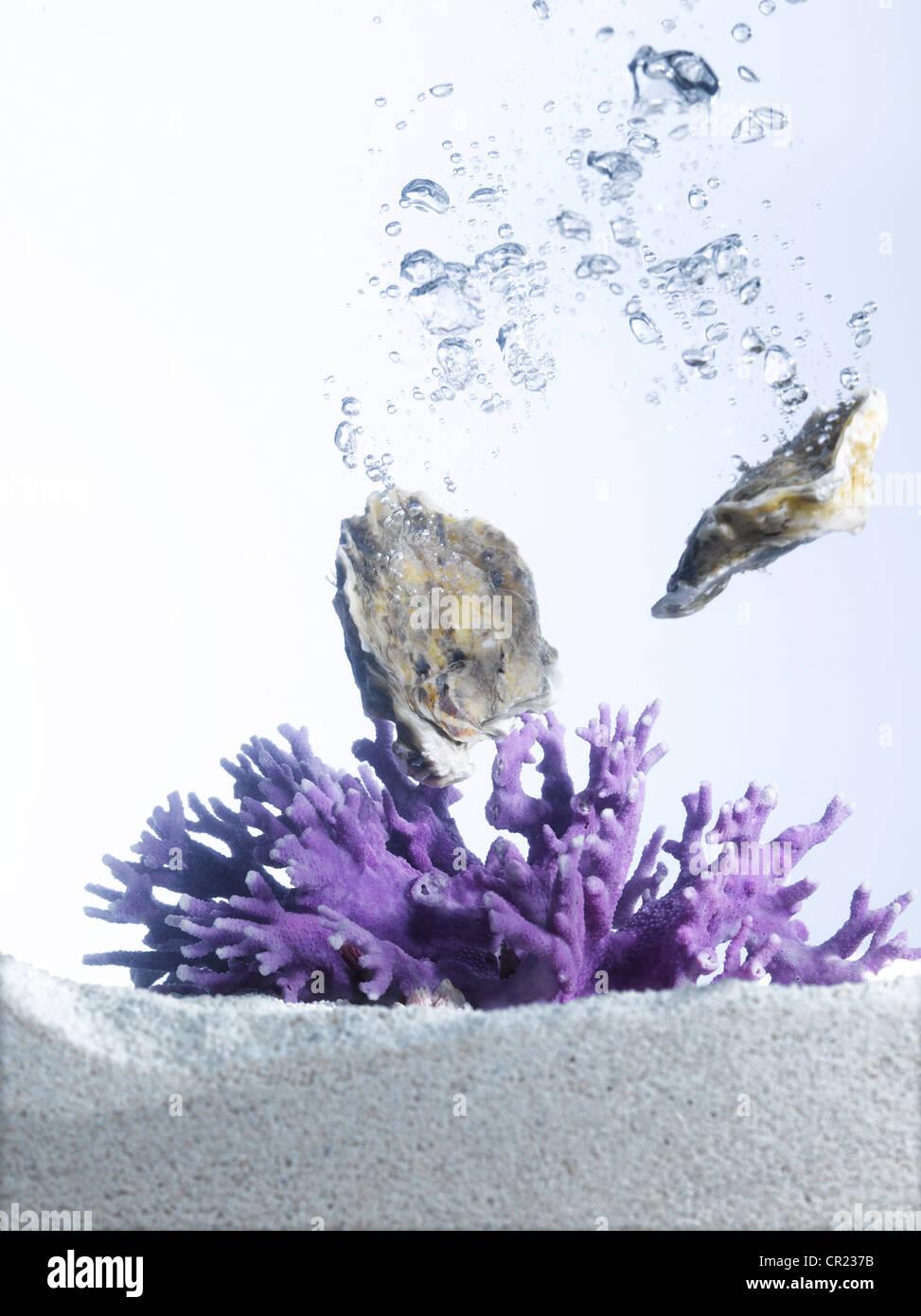 Las ostras en agua con coral púrpura Imagen De Stock