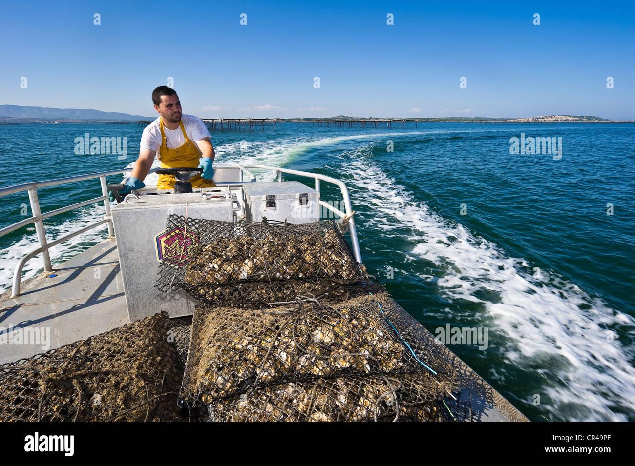 Francia, Aude, Corbières, Leucate Leucate, estanque, plana gabarra con las ostras de una granja conquiliólogos Imagen De Stock