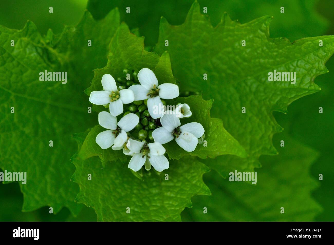 Alliaria petiolata perenne de ajo mostaza Foto de stock