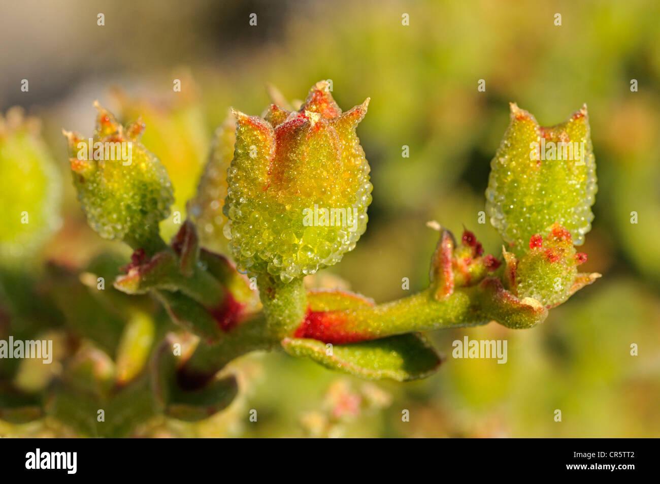 Mesmbryanthemum sp. El desarrollo de la fruta, cápsulas, Mesembs Goegap Aizoaceae, Reserva Natural, Namaqualand, Imagen De Stock