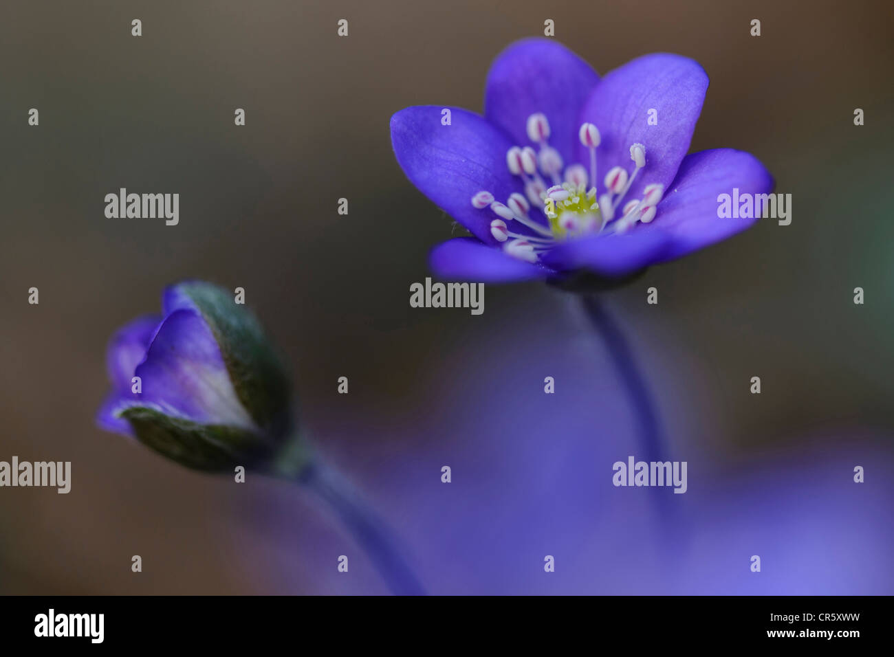 Agrimonia (anemone hepatica), alemania Imagen De Stock