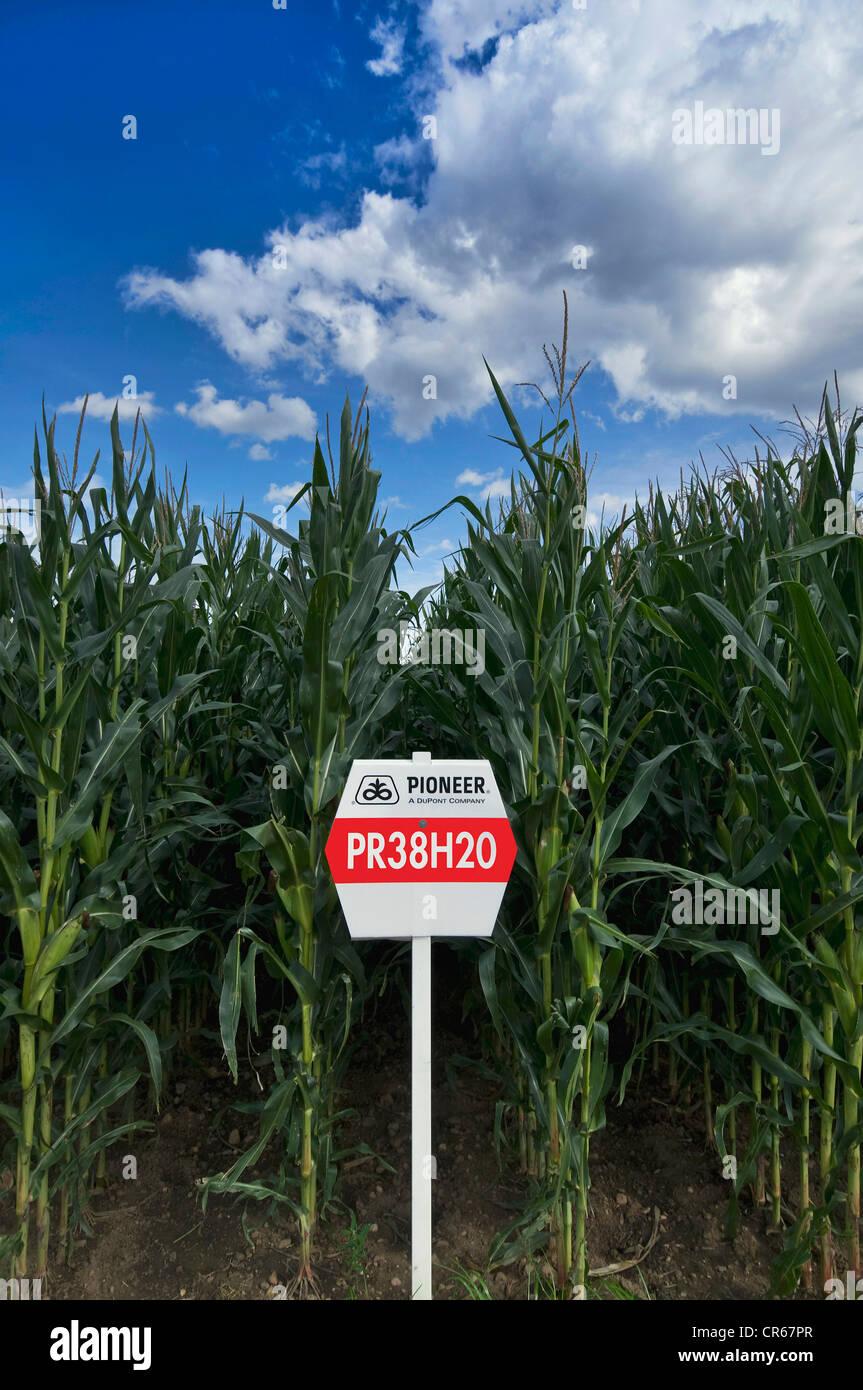El maíz, las investigaciones y los ensayos de cultivos de la compañía Pioneer, maíz para las Imagen De Stock
